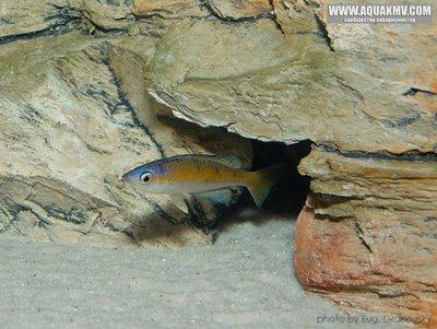 Cyprichromis много фото  - gallery_556_14_79993.jpg