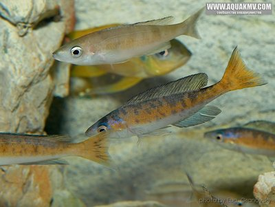 Cyprichromis много фото  - gallery_556_14_102288.jpg