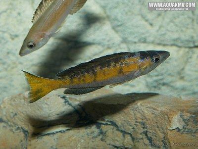 Cyprichromis microlepidotus Kiriza black  - gallery_556_14_85988.jpg