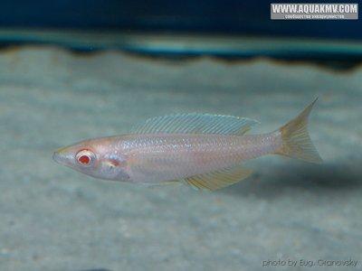Cyprichromis много фото  - gallery_556_14_5244.jpg