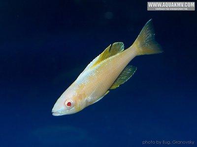 Cyprichromis много фото  - gallery_556_14_9569.jpg