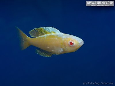 Cyprichromis много фото  - gallery_556_14_23517.jpg