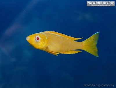Cyprichromis много фото  - gallery_556_14_27802.jpg