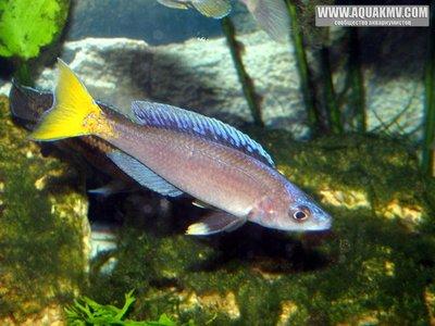 Cyprichromis leptosoma - gallery_4584_14_17130.jpg
