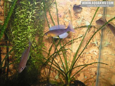 Cyprichromis много фото  - gallery_4584_14_263306.jpg