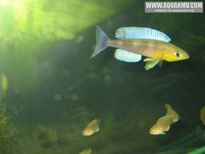 Cyprichromis leptosoma Kigoma  - gallery_1371_14_4169.jpg