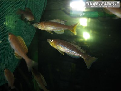 Cyprichromis microlepidotus kavalla - gallery_1371_14_6118.jpg