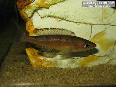 Cyprichromis microlepidotus kavalla самка  - gallery_1371_14_70968.jpg