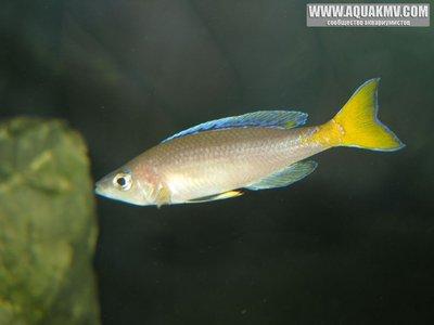 Cyprichromis leptosoma Mpulungu  - gallery_1371_14_17142.jpg