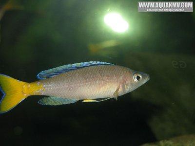 Cyprichromis leptosoma Mpulungu  - gallery_1371_14_45997.jpg