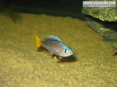 Cyprichromis leptosoma Mpulungu самец  - gallery_1371_14_71.jpg