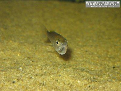 Cyprichromis leptosoma - gallery_1371_14_20521.jpg
