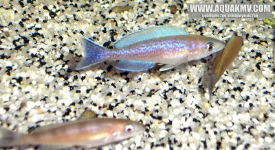 Cyprichromis microlepidotus Mabilibili - gallery_858_14_362690.jpg