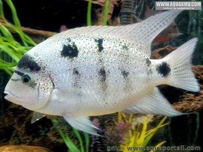 Maskaheros argenteus - large.576622127064a_Maskaherosargenteus.jpg.47bdfd666aa043b2ae1526c9718861f3.jpg
