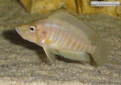 Altolamprologus compressiceps Golden Head Chaitica, Sambia  - IMG_1644.JPG