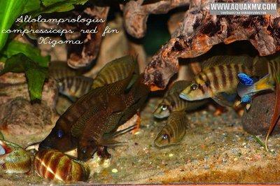 Altolamprologus compressiceps red fin Kigoma - IMG_1646.JPG