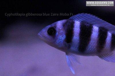 Cyphotilapia gibberosa blue Zaire Moba F1 - IMG_1655.JPG