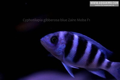 Cyphotilapia gibberosa blue Zaire Moba F1 - IMG_1656.JPG