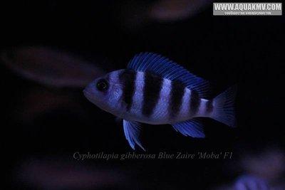 Cyphotilapia gibberosa blue Zaire Moba F1 - IMG_1658.JPG