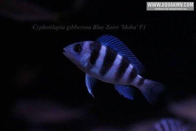Cyphotilapia gibberosa blue Zaire Moba F1 - IMG_1659.JPG