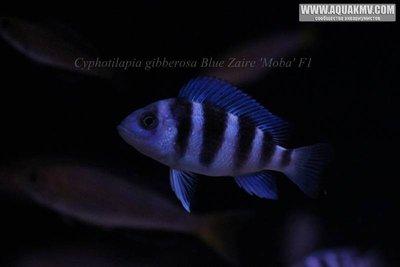 Cyphotilapia gibberosa blue Zaire Moba F1 - IMG_1660.JPG