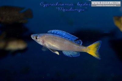Cyprichromis много фото  - IMG_1751.JPG