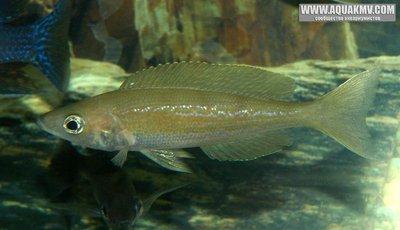 Cyprichromis microlepidotus самка - IMG_1753.JPG