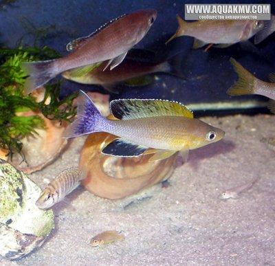 C.Leptosoma Kambwimba yellow head - IMG_1754.JPG