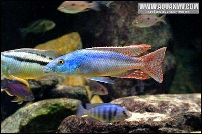Champsochromis caeruleus в компании с Aristochromis christyi и более мелкими Placidochromis phenochilus и Copadichromis sp. - caeruleus.jpg