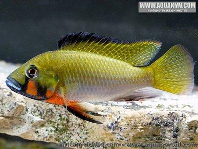 Thoracochromis brauschi - thoracochromis-brauschi.thumb.jpg.8fbd8dc0c8cfb62aed603a31ebf8cc0b.jpg