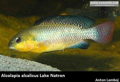 Alcolapia alcalicus - Alcolapiaalcalicus.jpg.b0f7de06423979139025b026299eec74.jpg