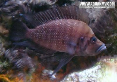 Altolamprologus compressiceps Copper-Kerenge Island male - gallery_4_9_19068.jpg