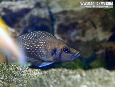 Altolamprologus compressiceps Copper-Kerenge Island  - gallery_4_9_8124.jpg