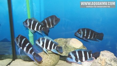 Cyphotilapia frontosa blue Zaire Moba дикари - gallery_686_648_34657.jpg