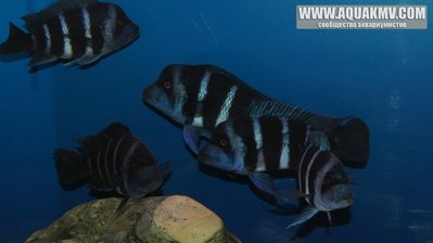 Cyphotilapia frontosa blue Zaire Moba дикари - gallery_686_648_105594.jpg