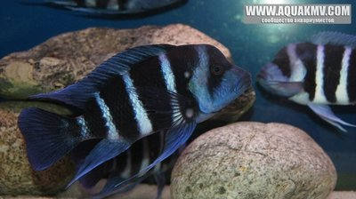 Cyphotilapia frontosa blue Zaire Moba Самец еще молодой 18-19см  - gallery_686_648_73265.jpg