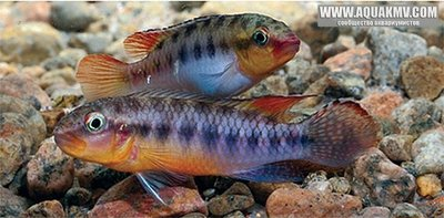 Африканские цихлиды без привязки к месту обитания - TFH-2015-july-2-Congochromis-sp-.jpg