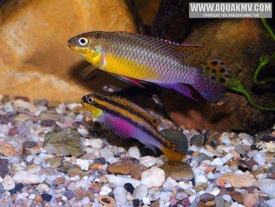 Pelvicachromis kribensis Moliwe - 12219556_743910099048600_7390542255542051806_n.jpg.086f55ad05533113a435689fff200684.jpg