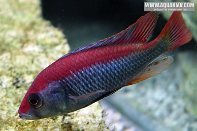 Haplochromis sp. Flameback  - Flameback_MaleA.jpg.09cb12ffe748136eb7f1886d47997683.jpg