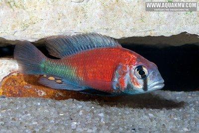 Ptyochromis sp. Hippo Point salmon  - Salmon_1931.jpg.2943f3f8acb8799f4bccc44239e0fa04.jpg