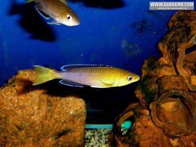 Желтоголовый ципр - gallery_858_14_434503.jpg