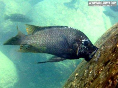 Озеро Танганьика в Африке - b6_Petrochromis-sp-texas_photo-Marie-Gromand.jpg.c4e4c535b1471de422a4be73997577e2.jpg