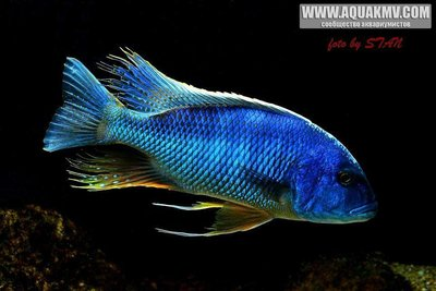 Buccochromis atritaeniatus - gt; B. nototaenia - large.14517643_679925855505726_9045422894825964395_n.jpg.a0b33595937eb94e26efe675da0cc903.jpg