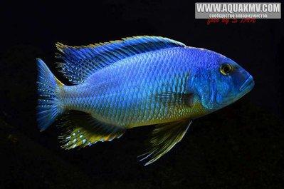 Buccochromis atritaeniatus - gt; B. nototaenia - large.Buccochromis-atritaeniatus-male-23cm.jpg.dccfcfed9574458e6c52dd952660b21f.jpg