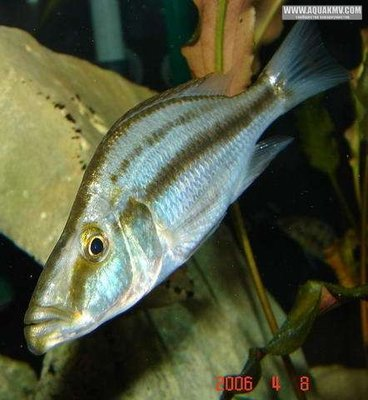 Самка Dimidiochromis compressiceps - large.gallery_1328_8_186736.jpg.746792e19faa6d3cf61d95f75a7c136c.jpg