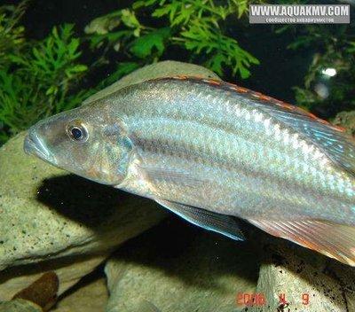 Самец Dimidiochromis compressiceps - large.gallery_1328_8_96171.jpg.f050bc3bef8d3b09e2994bfd179dd78e.jpg