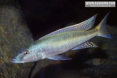 Champsochromis spilorhynchus - large.Champsochromis-spilorhynchus-A18765-FSWMY0035.jpg.f1d605d74a0332cc8bb116150a5beb5e.jpg