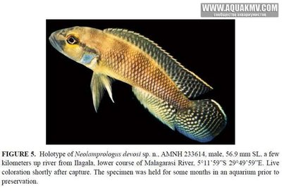Neolamprologus devosi - IMG_1844.JPG