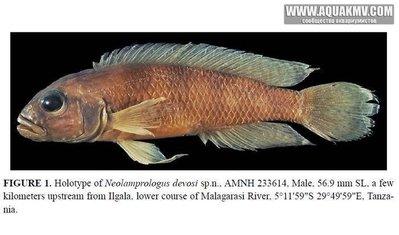 Neolamprologus devosi - IMG_1845.JPG