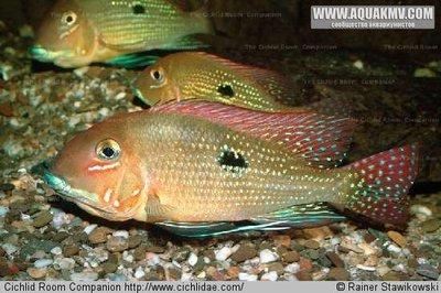 Geophagus sp. trombetas  - large.picture_species_show.jpg.4b0d59e6d27a572aec6adeba588e68f5.jpg